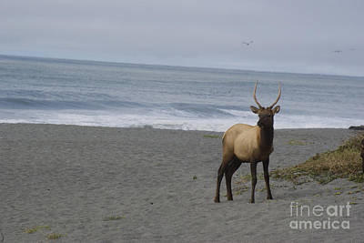 Photograph - Bull Elk On Calfornia Coast by Jim And Emily Bush