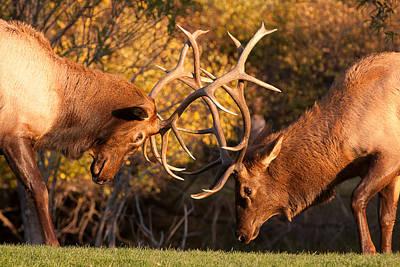 Bull Elk Sparring 80 Art Print by James BO  Insogna