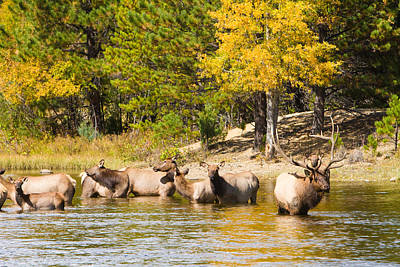 Bull Elk Watching Over Herd 5 Art Print by James BO  Insogna