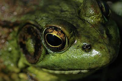 Photograph - Bull Frog Headshot by Rafael Figueroa