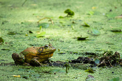 Photograph - Bull Frog by Jason Smith