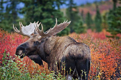 Bull Moose In The Fall Colors Art Print by Thomas Payer