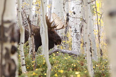 Photograph - Bull Moose by Kate Purdy