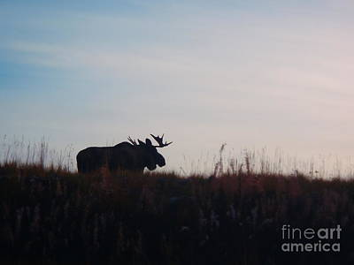 Photograph - Bull Moose Silhouette by Adam Owen