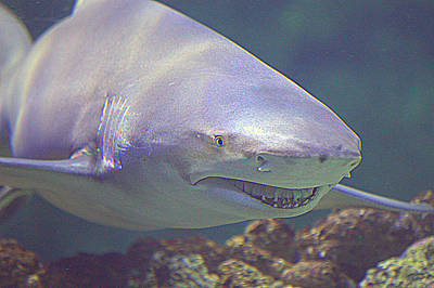 Photograph - Bull Shark by Paul Svensen