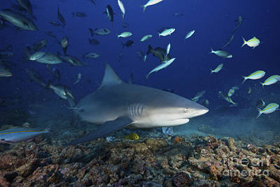 Undersea Photograph - Bull Shark Surrounded By Reef Fish by Terry Moore