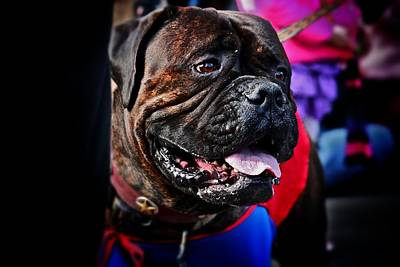 Photograph - Bulldog At Barkus Parade 2 by Jim Albritton