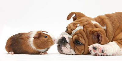 Bulldog Pup Face-to-face With Guinea Pig Art Print by Mark Taylor