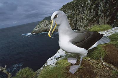 Photograph - Bullers Albatross Thalassarche Bulleri by Tui De Roy