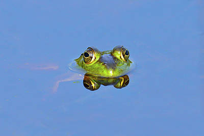 Frog Photograph - Bullfrog by Brian E. Kushner