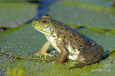 Frogs Photograph - Bullfrog  by Sharon Talson