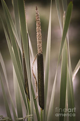 Photograph - Bullrushes by Clare Bambers