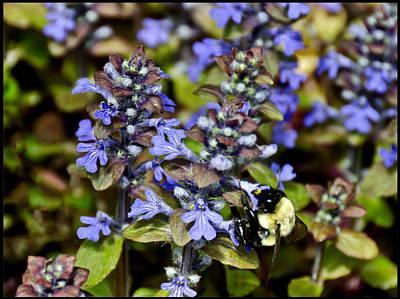 Purple Photograph - Bumble Bee Bugle Weed  by LeeAnn McLaneGoetz McLaneGoetzStudioLLCcom