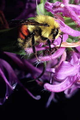 Photograph - Bumble Bee Busy by John Brink