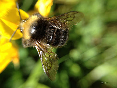 Photograph - Bumble Bee by Chriss Pagani
