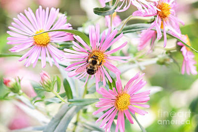 Bumble Bee On Asters Art Print by Lena Auxier