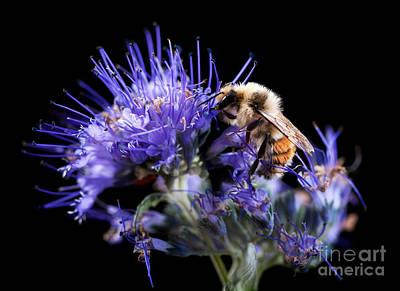 Bumble Bee On Blue Flower Art Print by Cindy Singleton