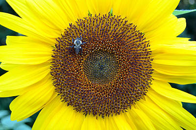 Digital Art - Bumble Bee On Sunflower by Eva Kaufman