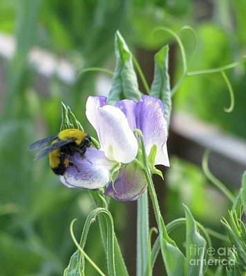 Photograph - Bumble Bee On Sweet Pea by Michele Penner