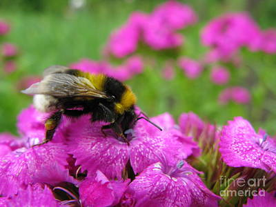Photograph - Bumble Bee Searching The Pink Flower by Ausra Huntington nee Paulauskaite
