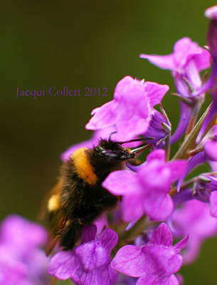 Photograph - Bumble by Jacqui Collett