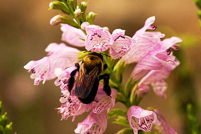 Photograph - Bumblebee And Flower by Van Corey