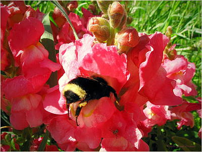 Photograph - Bumblebee And Snapdragon by Joyce Dickens