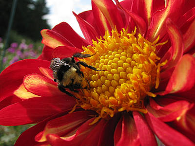Photograph - Bumblebee Dahlia 1 by Lora Fisher