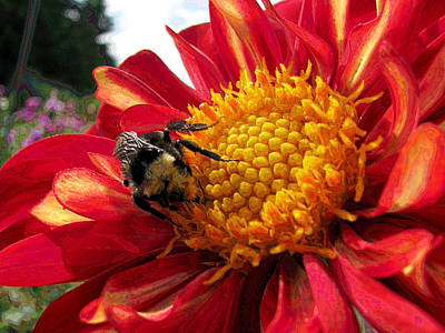 Photograph - Bumblebee Dahlia by Lora Fisher