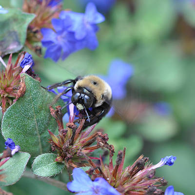 Bumblebee In Plumbago Larpentae Art Print