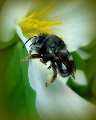Photograph - Bumbling Around by Cindy Wright