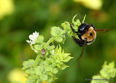 Bumbling On The Basil Art Print by Paula Tohline Calhoun