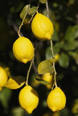 Bunch Of Lemons On Lemon Tree. Art Print by Ken Welsh