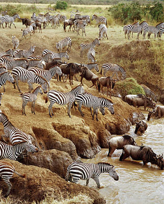 Indecision Photograph - Burchells Zebra Equus Burchellii by Gerry Ellis