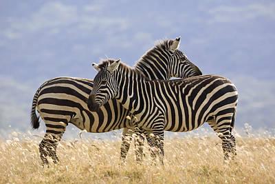 Photograph - Burchells Zebra Pair Kenya by Ingo Arndt