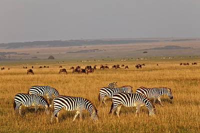 Of Zebra Grazing Photograph - Burchell's Zebras And Wildebeest Herd At Sunrise by Adam Jones