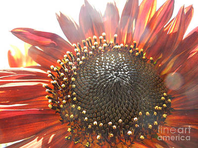 Photograph - Burgundy Sunflower In Sun Rays by Jim And Emily Bush