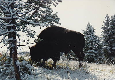 Photograph - Burly Buffalo On Snowy Morning by Barbara Plattenburg
