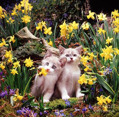 Animal Portraiture Photograph - Burmese-cross Hyacinth Kittens by Jane Burton