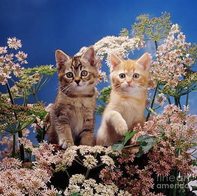 Animal Portraiture Photograph - Burmilla Kittens by Jane Burton
