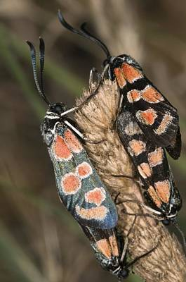 Burnet Moths Mating Art Print by Paul Harcourt Davies