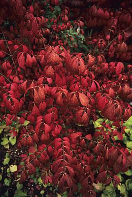 Burning Bush Photograph - Burning Bush (euonymus Alatus 'compacta') by Adrian Thomas