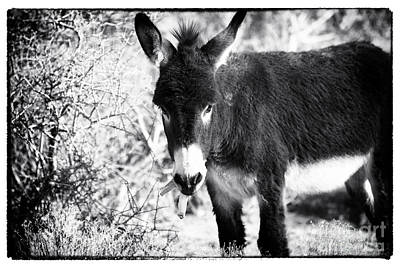Photograph - Burro And The Banana by John Rizzuto