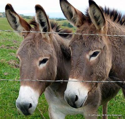 Photograph - Burro Twins by Jeff Lowe