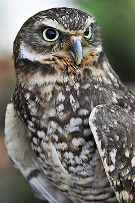 Photograph - Burrow Owl by Craig Leaper