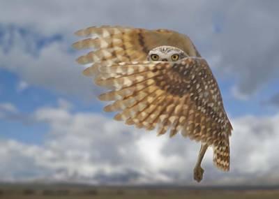Photograph - Burrowing Owl Liftoff by David Martorelli