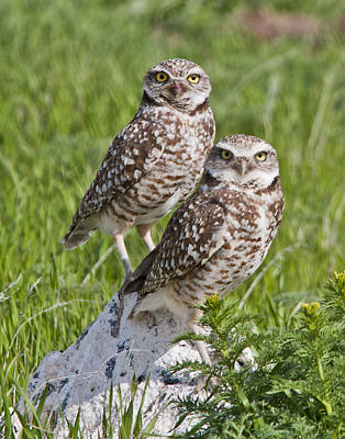 Burrowing Owl Pair Art Print