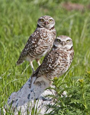Burrowing Owl Pair Art Print