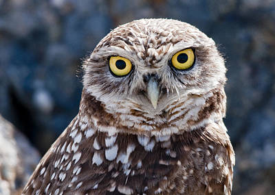 Burrowing Owl Portrait Art Print by David Martorelli