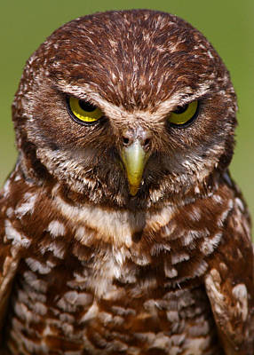 Burrowing Owl Art Print by Scotthelfrichphotography.com